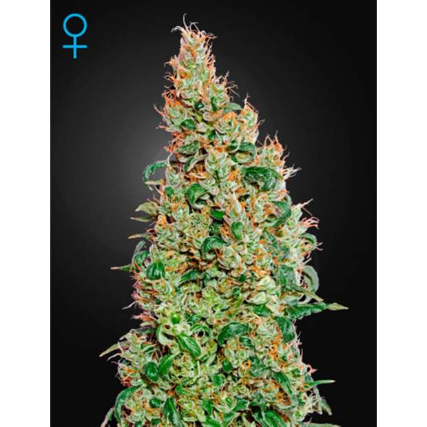 Green House Seeds Green-O-Matic Fem. 3er