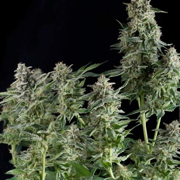 Pyramid Seeds CBD Northern Lights Fem. 5er