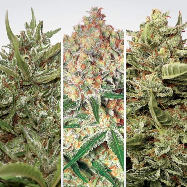 Paradise Seeds Auto Collection Pack #1 6 Stk