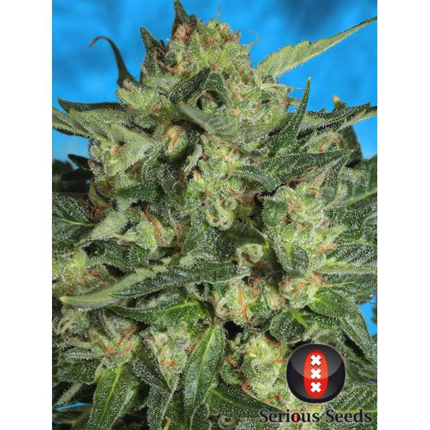 Serious Seeds White Russian #1 Auto 6 Stk