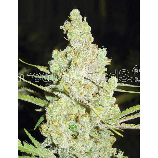 Medical Seeds 1024 5 Stk feminisiert
