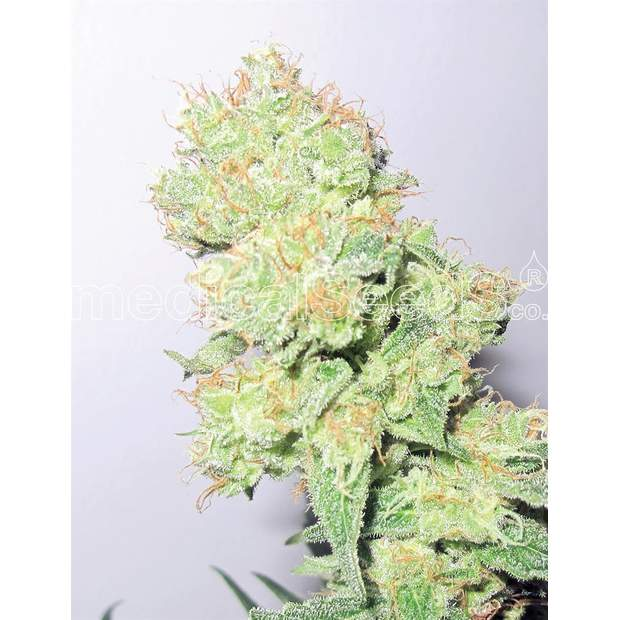 Medical Seeds Y Griega CBD 5 Stk feminisiert
