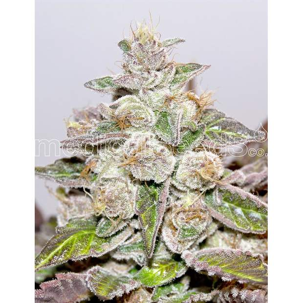 Medical Seeds Mendocino Purple Kush 5 Stk feminisiert