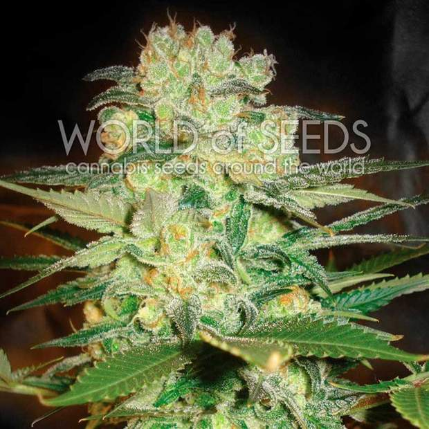 World of Seeds Afghan Kush x White Widow Fem. 3er