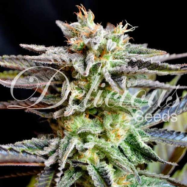 Delicious Seeds Unknown Kush 5 Stk feminisiert