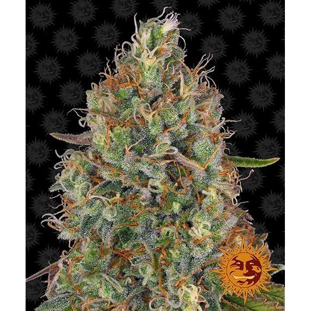 Barneys Farm Sweet Tooth Auto 3 Stk