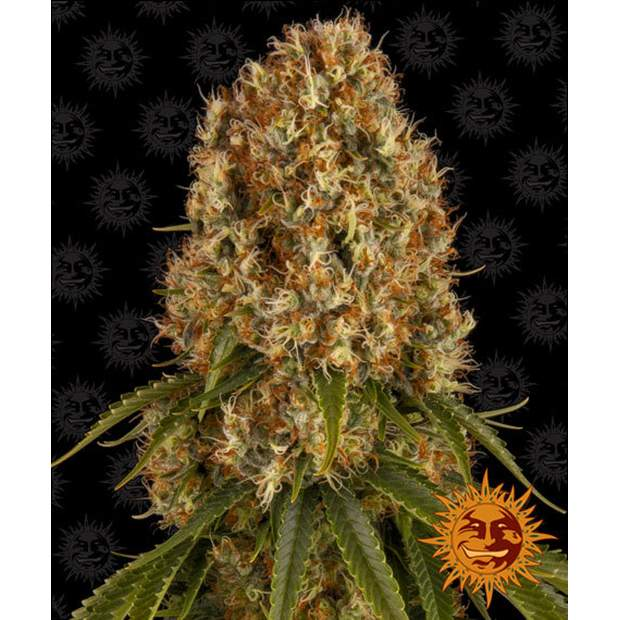 Barneys Farm Orange Sherbert 5 Stk feminisiert