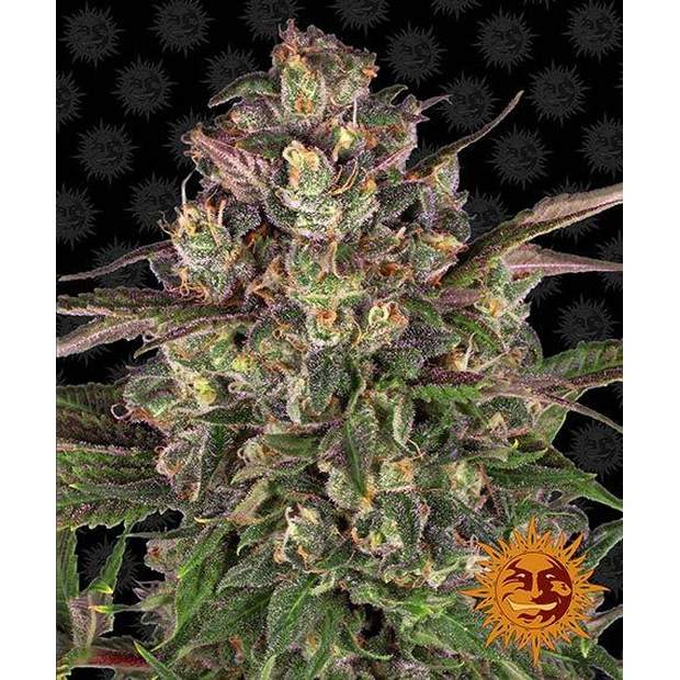Barneys Farm Peyote Critical 5 Stk feminisiert