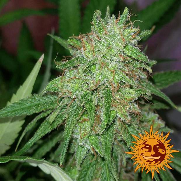 Barneys Farm Tangerine Dream 5 Stk feminisiert