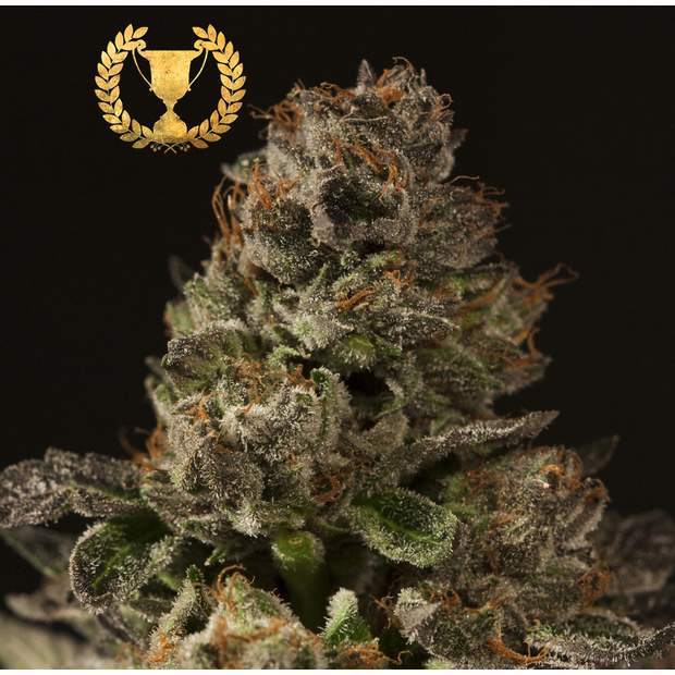 Devils Harvest Seeds Strawberry Sour Diesel