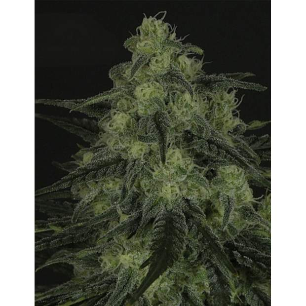 Ripper Seeds Blackvalley