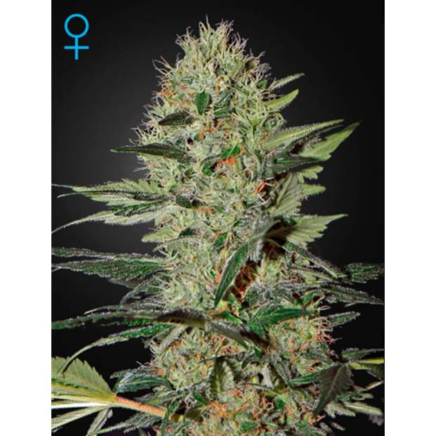 Green House Seeds Exodus Cheese Auto 3er
