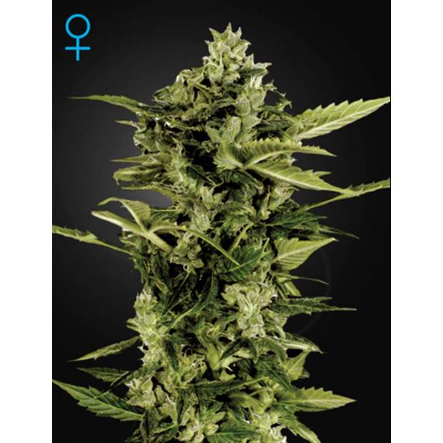 Green House Seeds Auto-Bomb 5 Stk