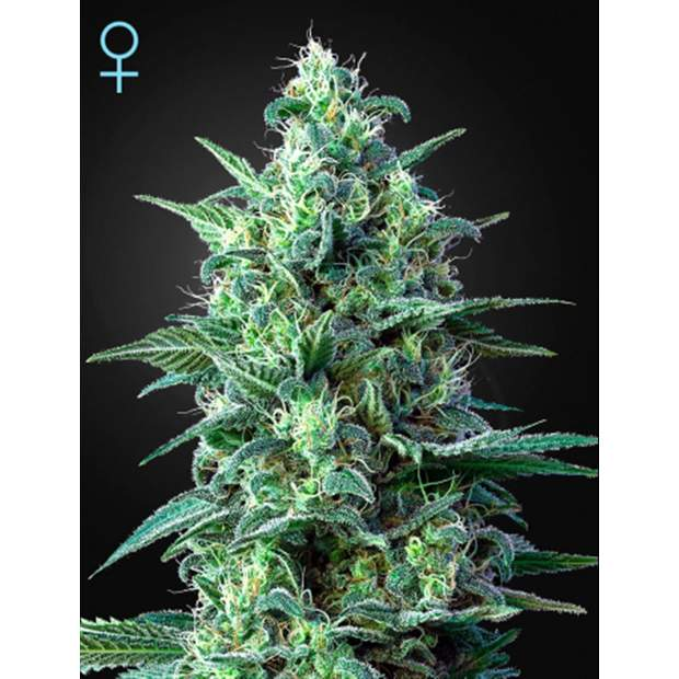 Green House Seeds White Widow Auto CBD 5 Stk