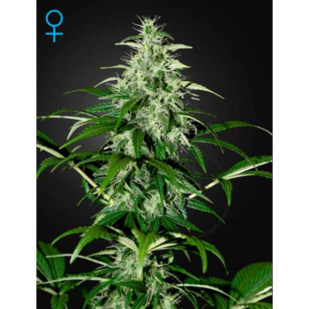 Green House Seeds Kalashnikova Auto 10 Stk
