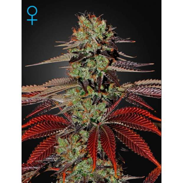 Green House Seeds Kings Kush Auto 5 Stk