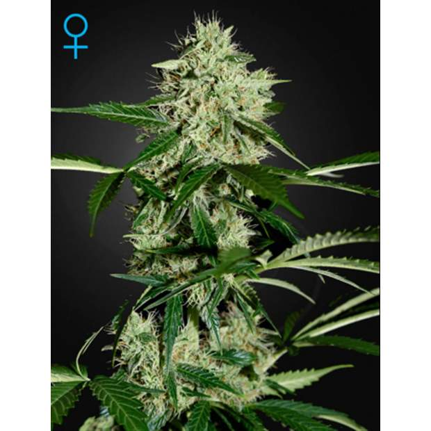 Green House Seeds Northern Lights Auto 3 Stk