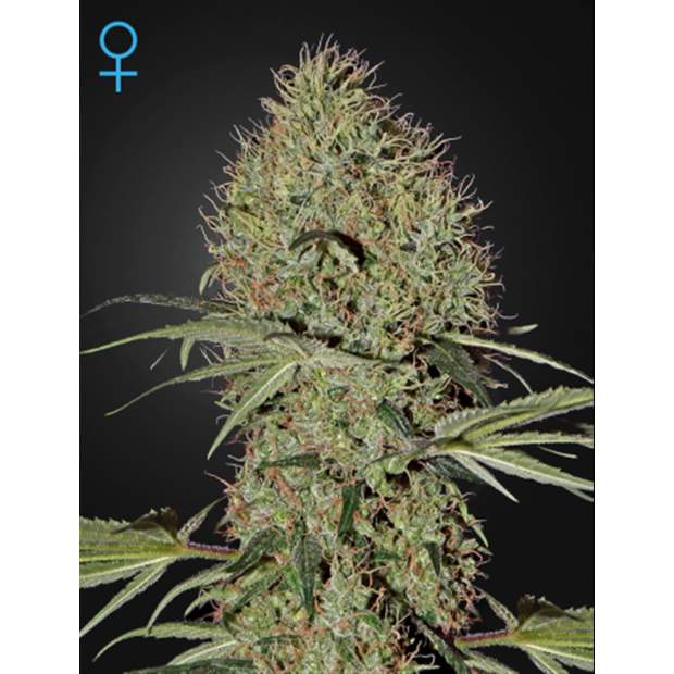 Green House Seeds Super Bud Auto 3 Stk