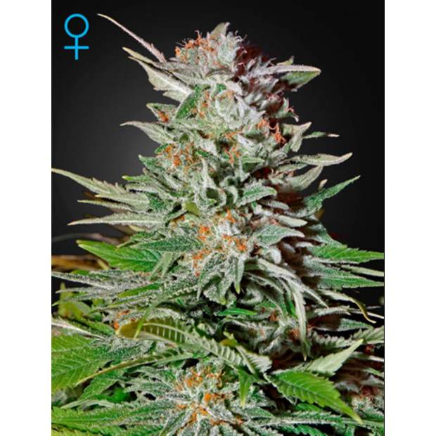 Green House Seeds Super Lemon Haze Auto 10 Stk