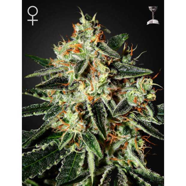 Green House Seeds Cheese 3er