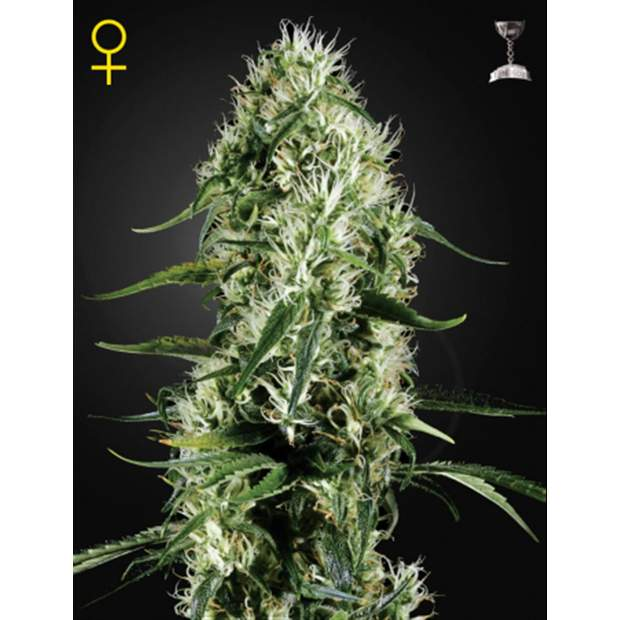Green House Seeds Super Silver Haze 3 Stk feminisiert