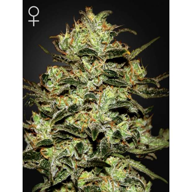 Green House Seeds Moby Dick 5 Stk feminisiert