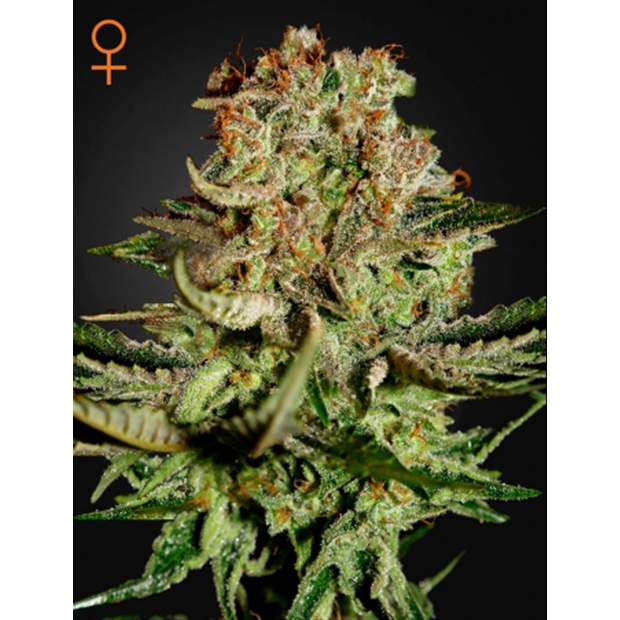 Green House Seeds Super Bud 10 Stk feminisiert