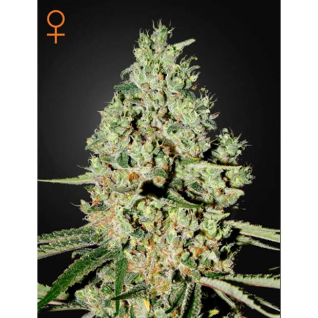 Green House Seeds Super Critical 5 Stk feminisiert
