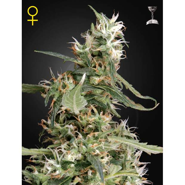 Green House Seeds Arjans Ultra Haze #1 5 Stk feminisiert