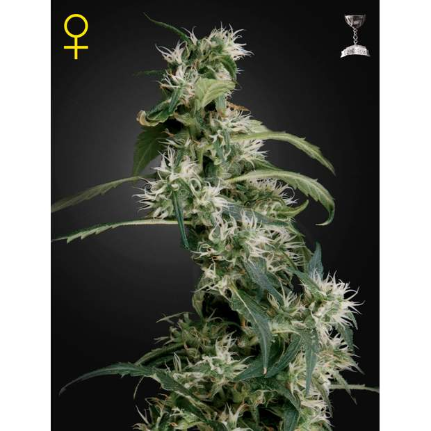 Green House Seeds Arjans Ultra Haze #2 10 Stk feminisiert