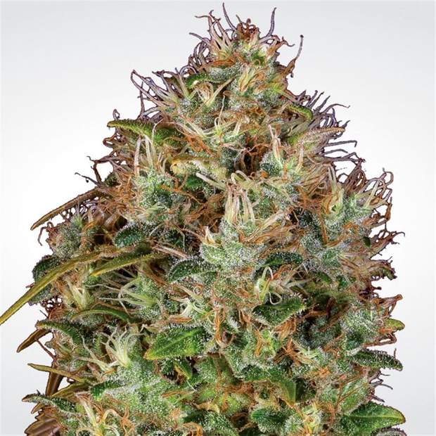 Paradise Seeds Dutch Kush 3er