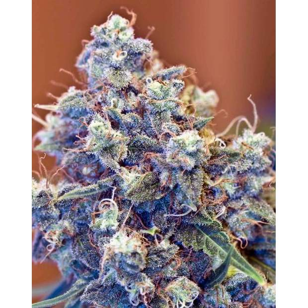 Female Seeds ICED Grapefruit 4 Stk feminisiert