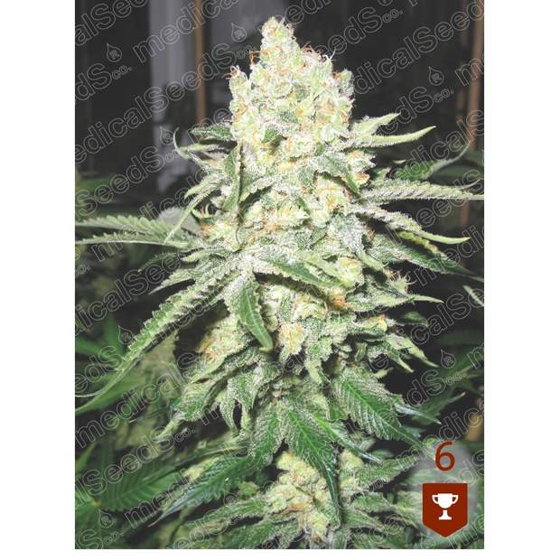 Medical Seeds No Name
