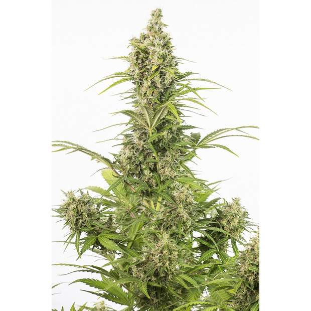 Dinafem White Widow Auto CBD 10 Stk