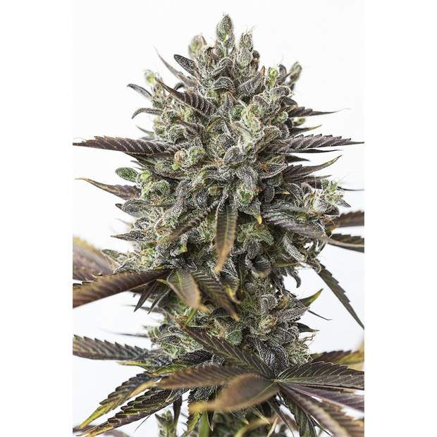 Dinafem Purple Orange CBD 5 Stk feminisiert