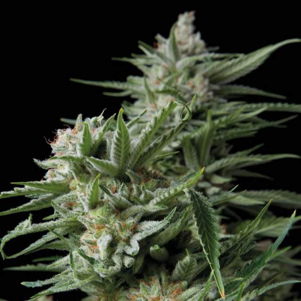 Trikoma Seeds Sweet Madness CBD