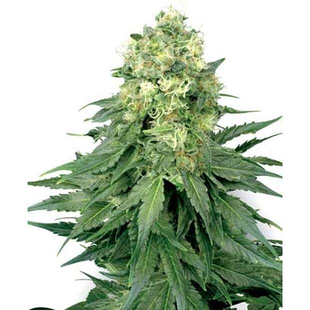 White Label White Widow Auto 5 Stk