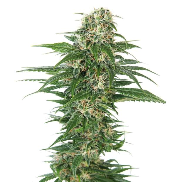 Sensi Seeds Early Skunk Auto 10 Stk