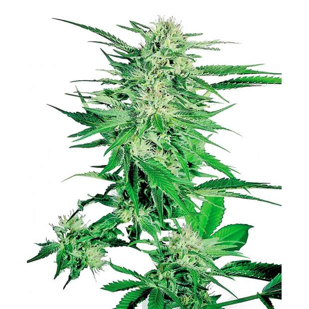 Sensi Seeds Big Bud