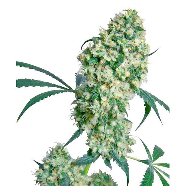Sensi Seeds Ed Rosenthal Super Bud 10 Stk regular