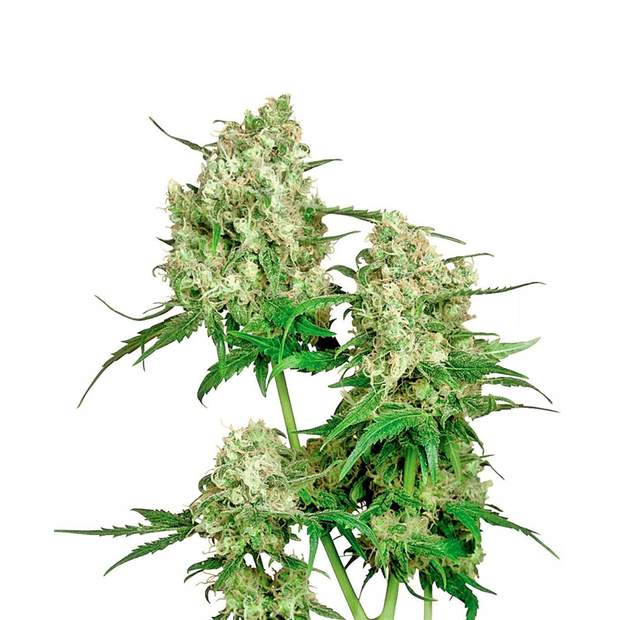 Sensi Seeds Maple Leaf Indica 10 Stk regular