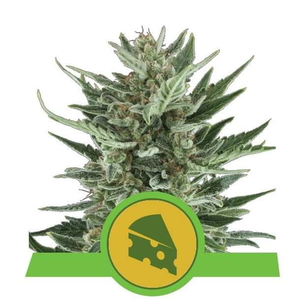 Royal Queen Seeds Royal Cheese Auto 5 Stk