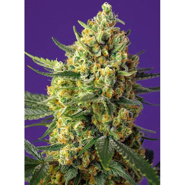 Sweet Seeds Crystal Candy XL Auto 3 Stk