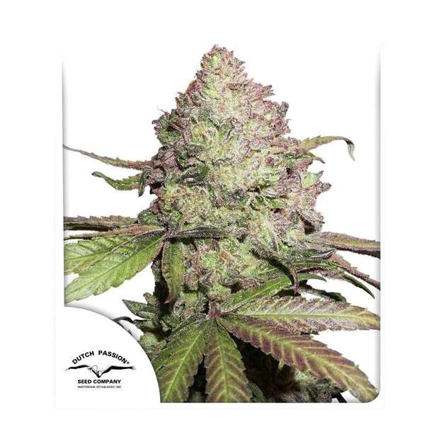 Dutch Passion CBD Auto Charlottes Angel 3 Stk