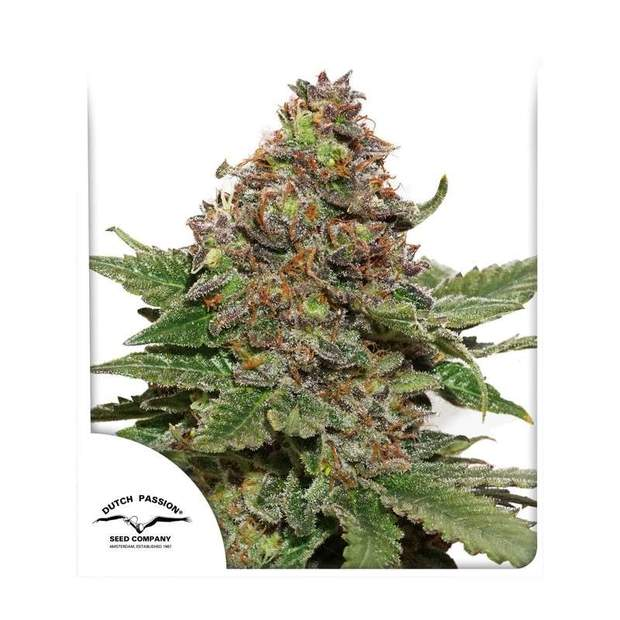 Dutch Passion Strawberry Cough 10 Stk feminisiert